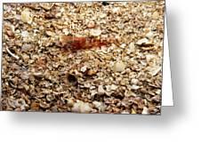 Cleaner Shrimp On Shell Covered Bottom Greeting Card