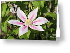 Clematis Andromeda Greeting Card
