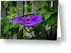 Clematis In Purple Greeting Card