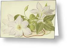 Clematis Jackmanni Alba Greeting Card