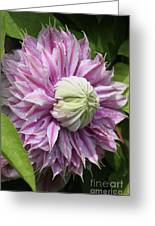 Clematis Josephine #7 Greeting Card