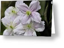 Clematis Montana Rubens Group Greeting Card