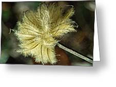 Clematis Seed Head 1 Greeting Card