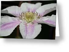 Clematis Study 2 Greeting Card