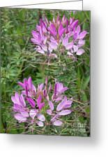 Cleome Sparkler Lavender Greeting Card
