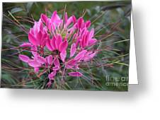Cleome Spinosa  Greeting Card