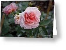 Climber Romantica Tea Rose, Digital Art Greeting Card