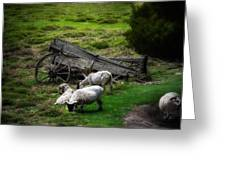 Clint's Sheep  Greeting Card