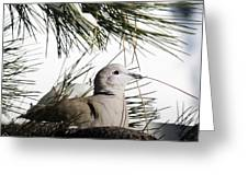 Close Up African Collared Dove Greeting Card