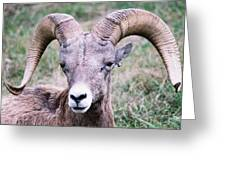 Close Up Big Horn Sheep Greeting Card