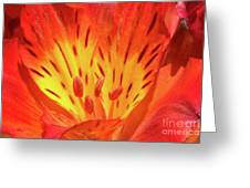 Close-up Of A Peruvian Lily Greeting Card