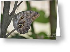Close Up Of A Pretty Brown Morpho Butterfly  Greeting Card