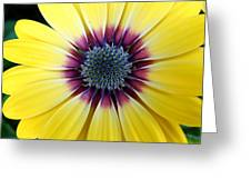 Close-up Of A Yellow African Daisy Greeting Card