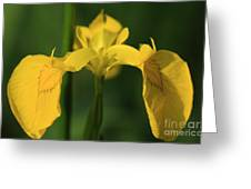 Close Up Of A Yellow Bearded Iris Greeting Card