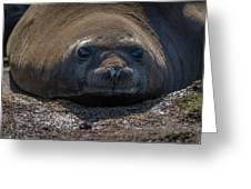 Close-up Of Elephant Seal Looking At Camera Greeting Card