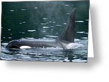Close-up Of Killer Whale In Johnstone Greeting Card