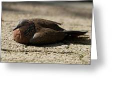 Close-up Of Mottled Pigeon On Sandy Ground Greeting Card