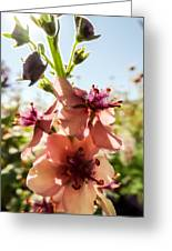 Close-up Of Pink Mullein Flowers Greeting Card
