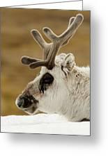 Close-up Of Reindeer Head On Snowy Ridge Greeting Card