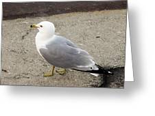 Close-up Of Seagull Greeting Card