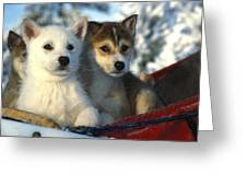 Close Up Of Siberian Husky Puppies Greeting Card