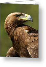 Close-up Of Sunlit Golden Eagle Looking Back Greeting Card