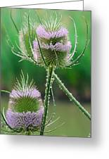 Close Up Of Teasel Blossoms Revealing Greeting Card