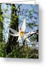 Close-up Of White Trout Lily Greeting Card