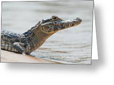 Close-up Of Yacare Caiman On Sandy Beach Greeting Card
