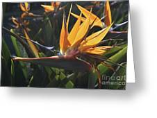 Close Up Photo Of A Bee On A Bird Of Paradise Flower  Greeting Card