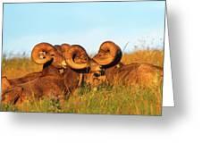 Close Up Portrait Group Of Big Bighorn Mountain Sheep Rams Greeting Card