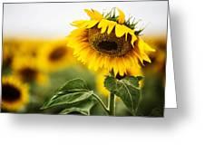 Close Up Single Sunflower In South Dakota Greeting Card