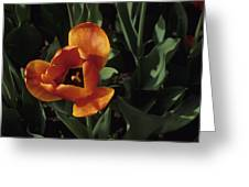 Close View Of A Tulip Greeting Card