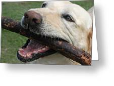Close View Of A Yellow Lab With Worn Greeting Card by Stacy Gold