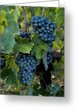 Close View Of Chianti Grapes Growing Greeting Card