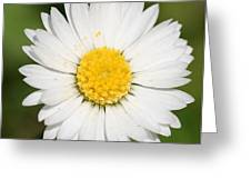 Closeup Of A Beautiful Yellow And White Daisy Flower Greeting Card