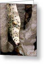 Closeup Of A Cleaner Shrimp Lysmata Greeting Card
