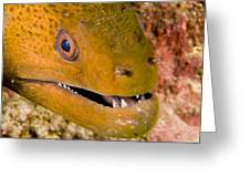 Closeup Of A Giant Moray Eel Greeting Card