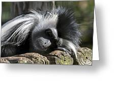 Closeup Of Black And White Angolian Primate Sleeping On Log Raft Greeting Card