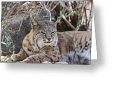 Closeup Of Bobcat Greeting Card