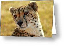 Closeup Of Cheetah Greeting Card