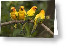 Closeup Of Four Captive Sun Parakeets Greeting Card