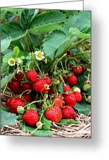 Closeup Of Fresh Organic Strawberries Growing On The Vine Greeting Card