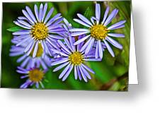Closeup Of Leafy Bract Asters On Iron Creek Trail In Sawtooth National Wilderness Area-idaho  Greeting Card