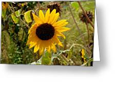 Closeup Of Sunflower In Farm Greeting Card