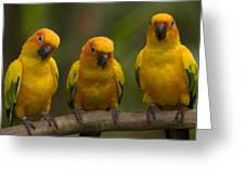 Closeup Of Three Captive Sun Parakeets Greeting Card