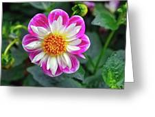 Closeup View Of A Dahlia That Was In The Cesky Krumlov Castle Gardens Greeting Card