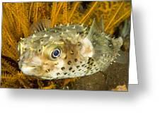 Closeupf Of A Yellowspotted Burrfish Greeting Card by Tim Laman