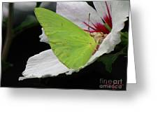 Cloudless Giant Sulphur Butterfly  Greeting Card