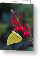 Cloudless Sulphur And Pineapple Sage Greeting Card